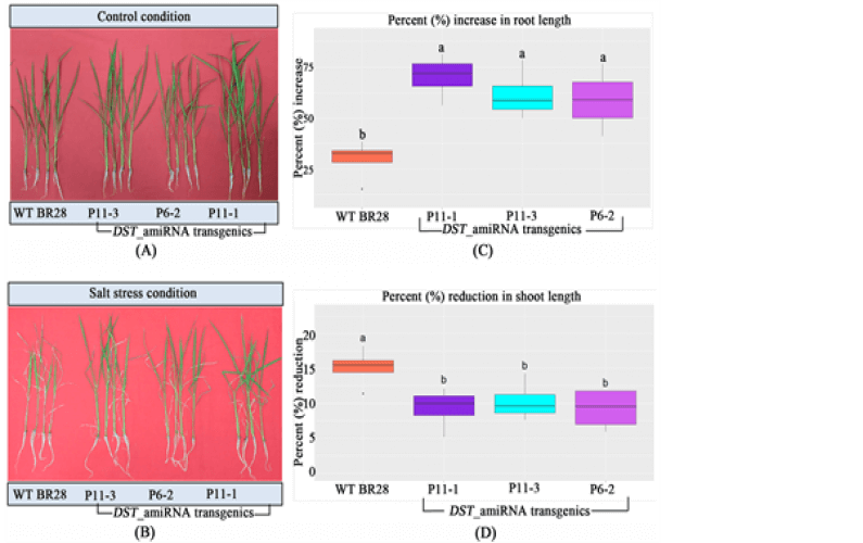High yields combined with salt and drought tolerance in transgenic Bangladeshi Rice BRRIdhan 28